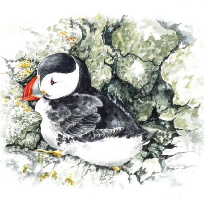 Atlantic Puffin (Ann Biggs)