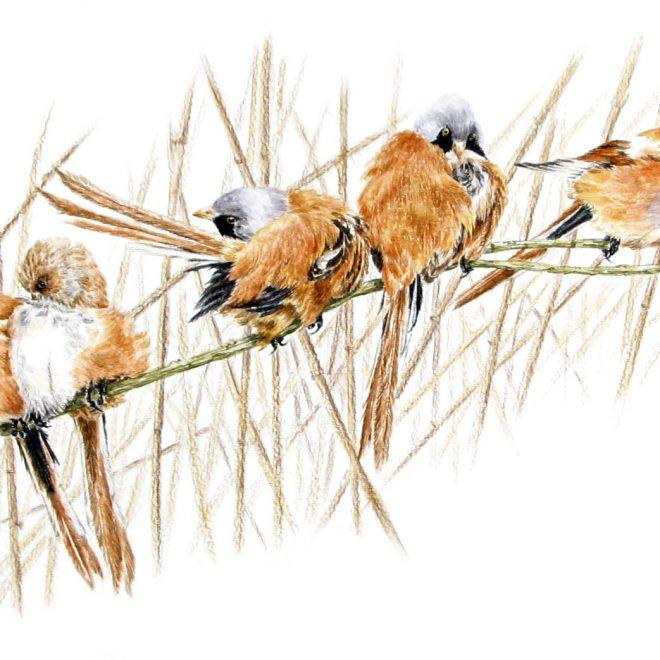 Bearded Reedlings (Ann Biggs)