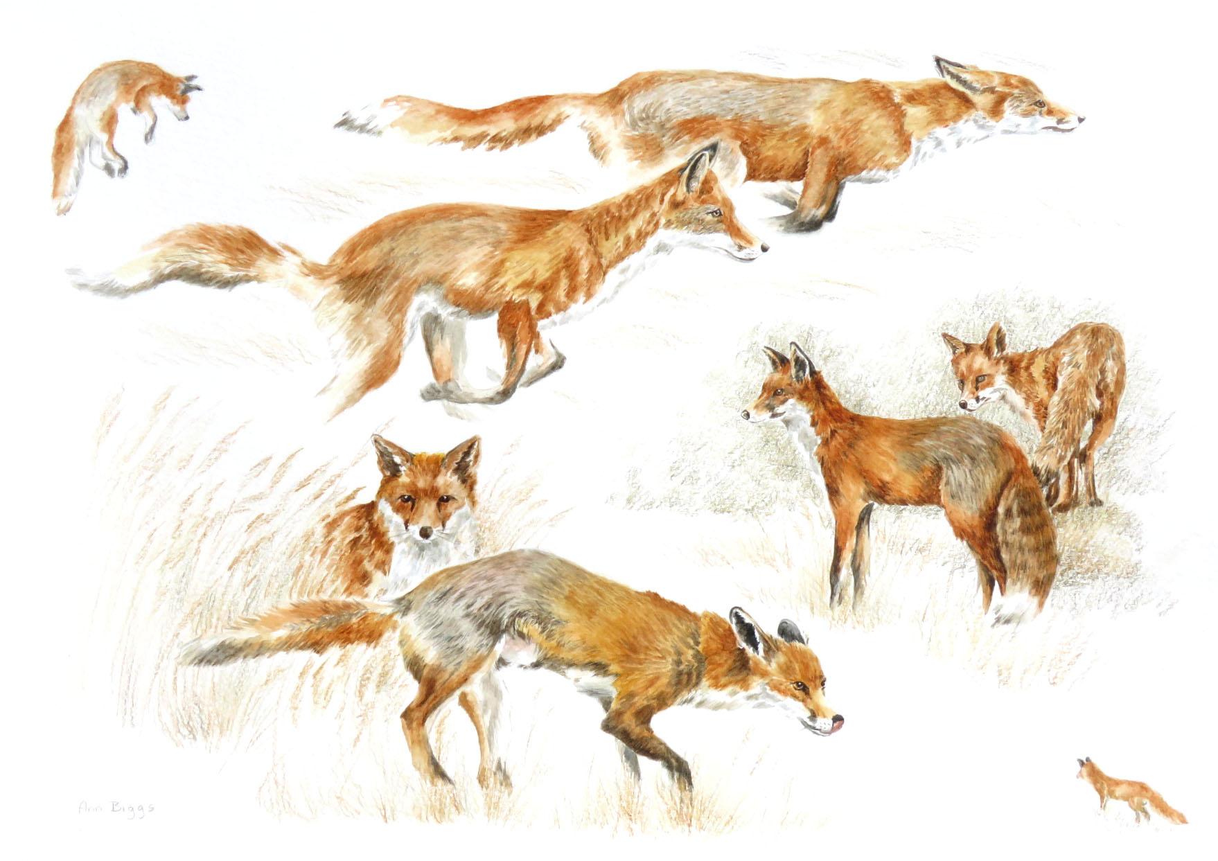 Foxes(Ann Biggs)
