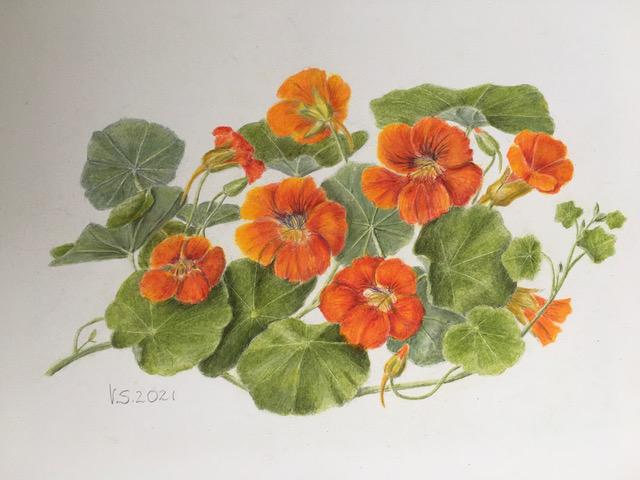 Nasturtiums (Veronica Sutherland)