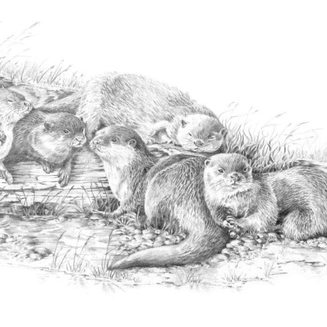 Short Clawed Otters (Ann Biggs)