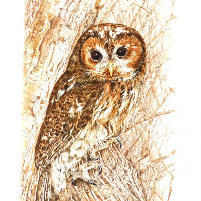 Tawny Owl (Ann Biggs)