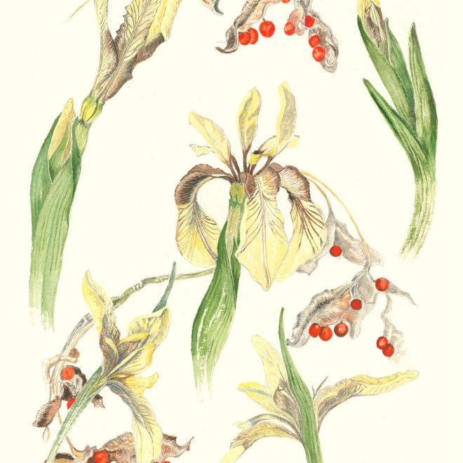 Iris-and-seed-pods-(Jenny-Wilson)