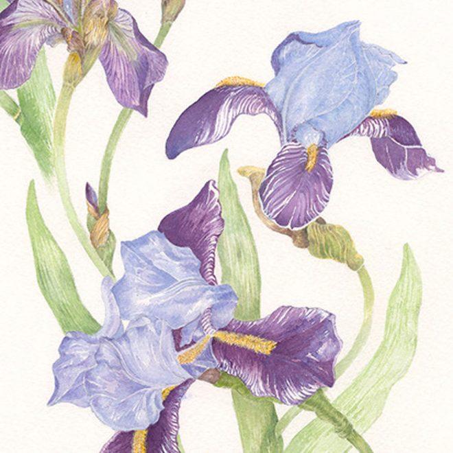 Purple-Iris-(Jenny-Wilson)