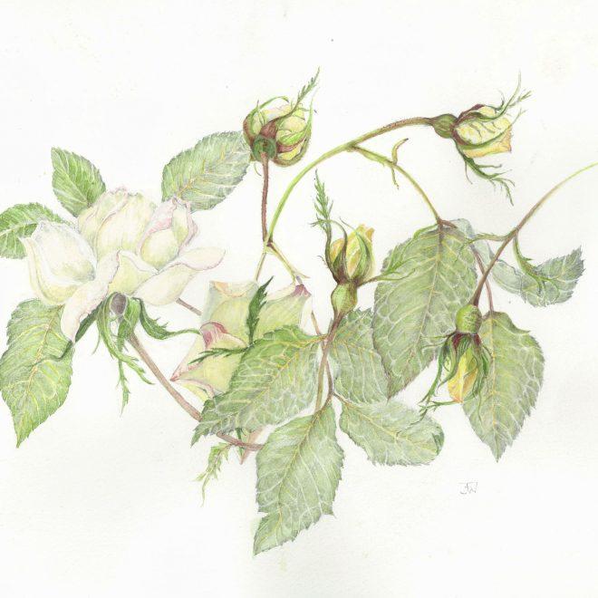 White-rambling-rose-(Jenny-Wilson)